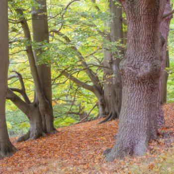 Beech Wood Near Birchmere Scout Campsite
