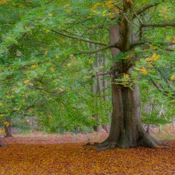 Beech Tree near Birchmere Scout Campsite